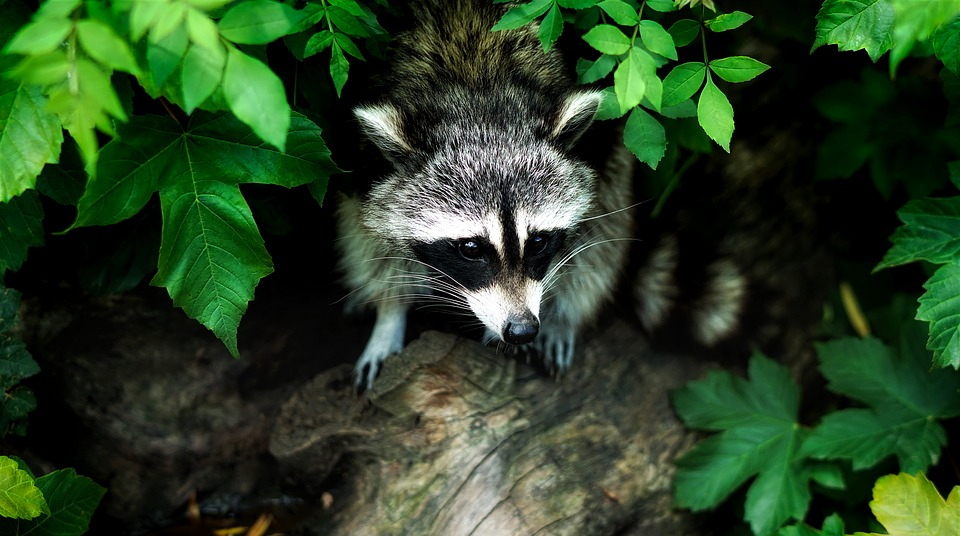 raccoon hunting guide
