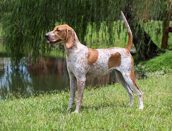 English Coonhound or American Coonhound