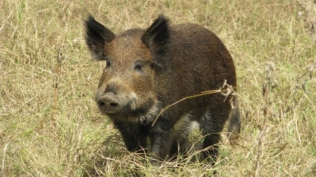 Hogs have a good sense of hearing