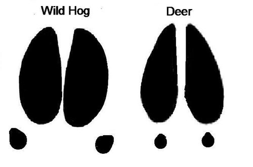 hog track and a deer track