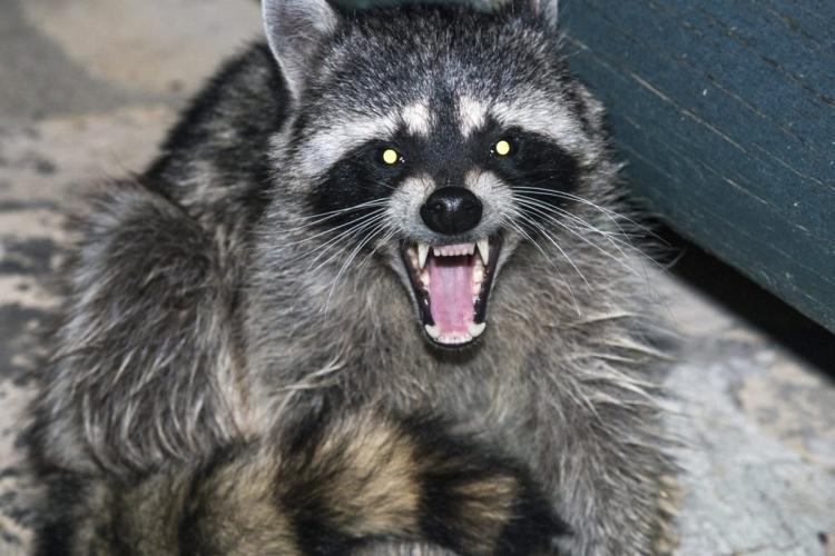 Wear the appropriate boots to prevent a coon bite